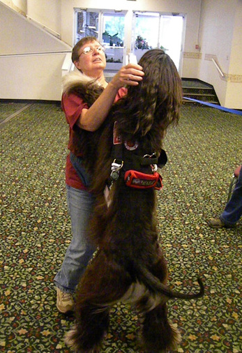 wookiee hug: Mona greets a service dog: Afghans do coursing, agility, obedience (it's a challenge) and other cool stuff