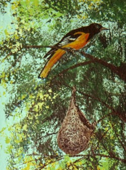 Baltimore oriole & nest