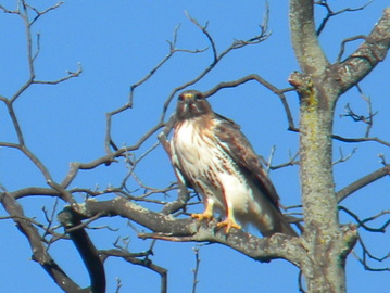 redtail hawk, my backyard